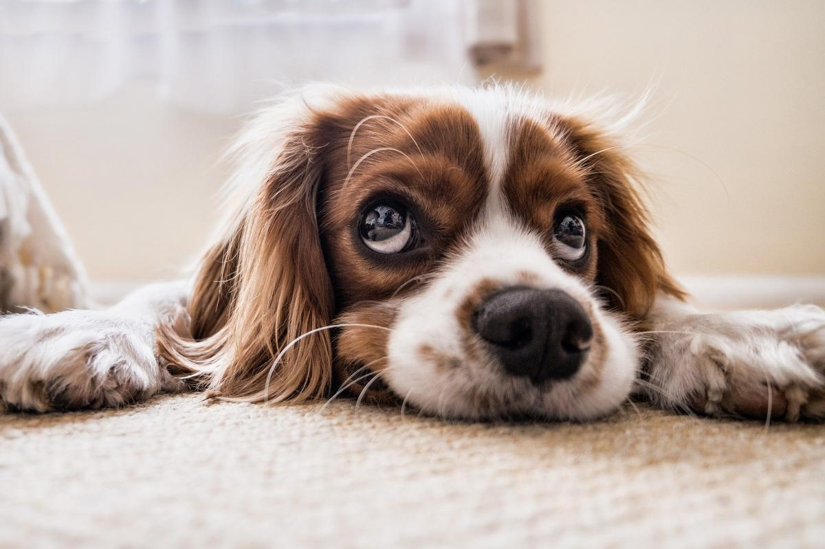 Image of a Cocker Spaniel